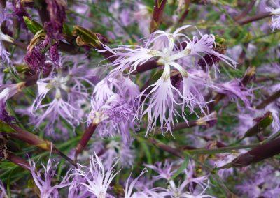 Dianthus superbus: Fringed pink