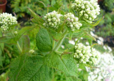 Eupatorium perfoliatum: Boneset