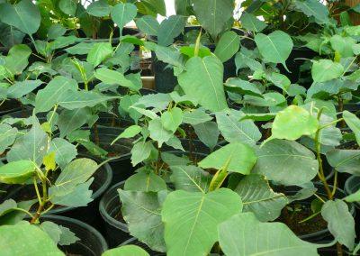 HSP Ficus religiosa: Bodhi tree