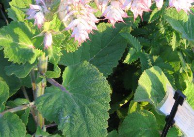 Clary Sage: Salvia sclarea