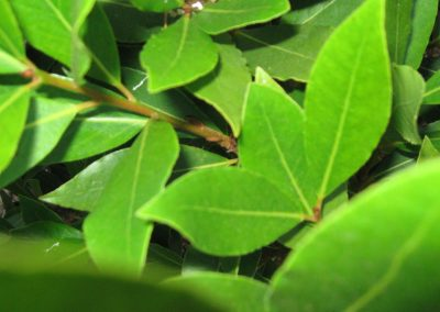 Erythrina spp.: Fire wheel bush