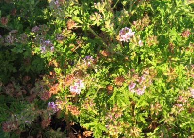 Pelargonium graveolens: Rose Geranium