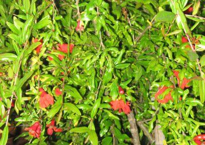 Pomegranate: Punica