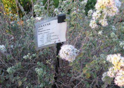Zaatar: Oreganum maru