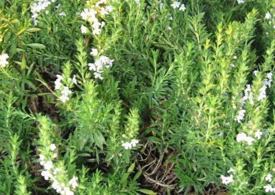Winter Savory: Satureja montana