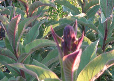 Chilean lobelia: Lobelia tupa