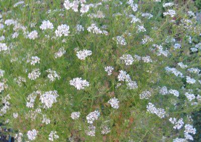 Cilantro: Coriandrum sativum