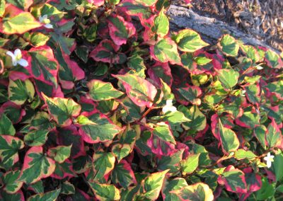 Chamelion Plant: Houttuynia cordata