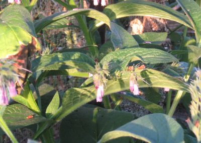 Comfrey: Symphytum officinalis