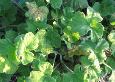 Peppermint geranium: Pelargonium tomentosum