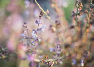 salvia miltiorhiza