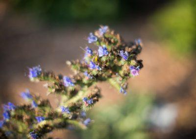 Echium vulgare: Viper's buggloss